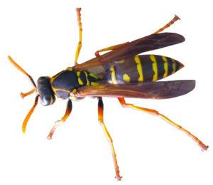 アシナガバチの写真-横