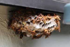 アシナガバチの巣の写真