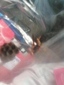 セグロアシナガバチ初期巣