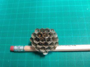 セグロアシナガバチ巣内部