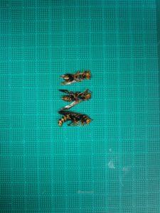 セグロアシナガバチ女王バチ大きさ比較