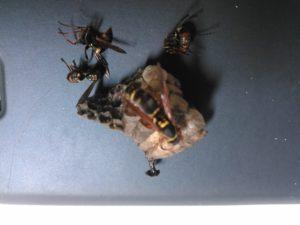 コアシナガバチ20190605-2