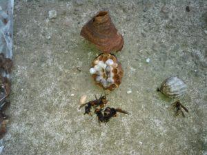 コガタスズメバチとセグロアシナガバチ20190610-1