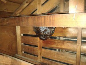 8月上旬・野田市内・屋根裏の大きなキイロスズメバチの巣駆除-1