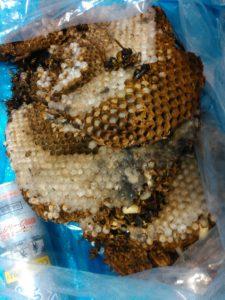8月中旬・野田市内・2F軒裏のモンスズメバチ巣の駆除-3