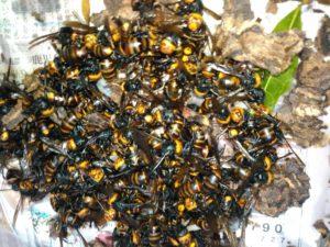 9月初旬・坂東市内・庭木の中のコガタスズメバチの駆除-4