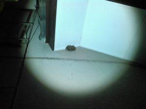 9月初旬・流山市内・玄関のすぐ上、キアシナガバチの駆除-1