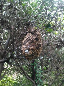 9月中旬・野田市内・台風で壊れて再生したコガタスズメバチの巣駆除-2