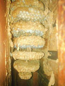 9月中旬・野田市内・アパートの戸袋いっぱいのモンスズメバチの巣駆除-4