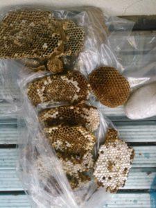 9月中旬・野田市内・アパートの戸袋いっぱいのモンスズメバチの巣駆除-7