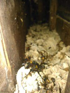 9月中旬・野田市内・アパートの戸袋いっぱいのモンスズメバチの巣駆除-6