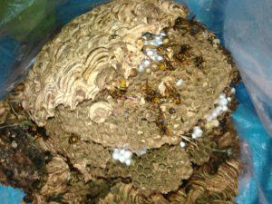 9月下旬・野田市内・2階軒下に大きなキイロスズメバチの巣駆除 -2